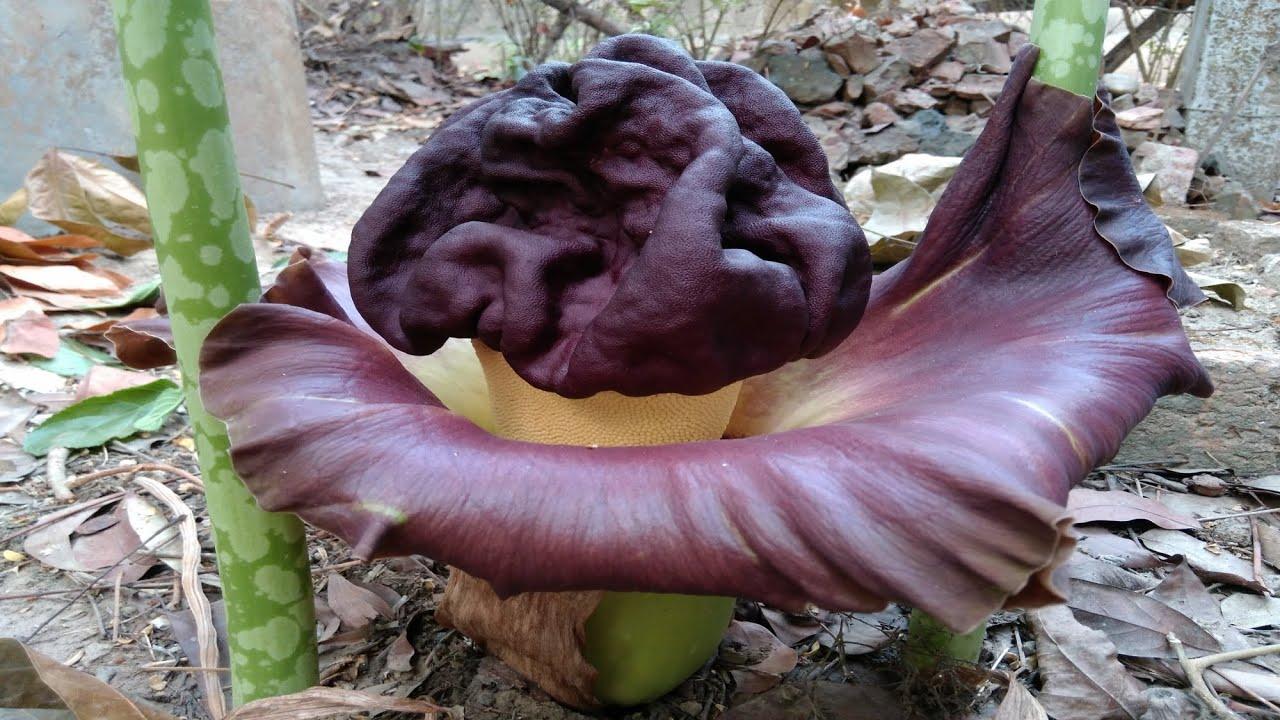 Flower Of Elephant Foot Yam Youtube