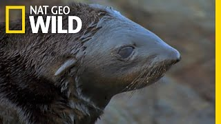 A Tough Lesson For a Seal Pup | Land of 10,000 Grizzlies