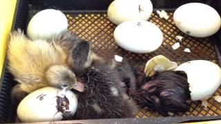 Watch baby duckling hatch