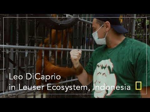 Before The Flood: Leo DiCaprio feeds the Orangutan in Sumatra, Leuser Ecosystem