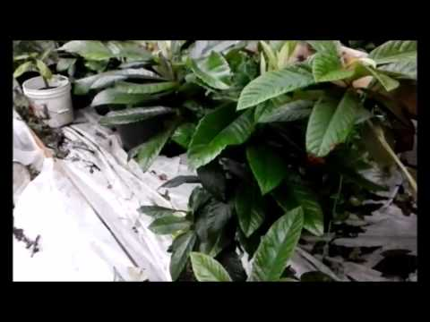how to grow loquat trees from seed + Update on my grown trees