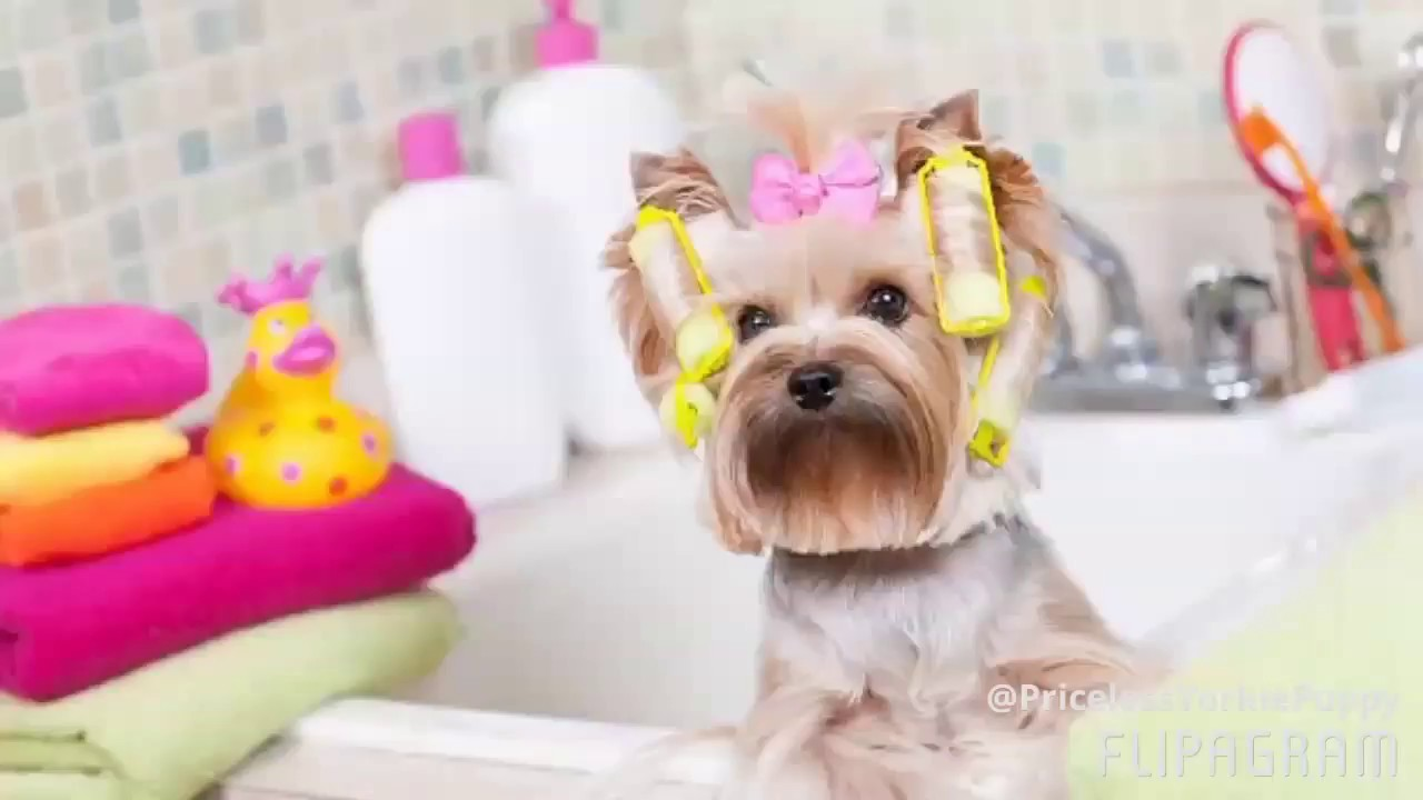 Tribute to the most spoiled rotten yorkies my yorkie is more tribute to the most spoiled rotten yorkies my yorkie is more spoiled than yours nvjuhfo Image collections