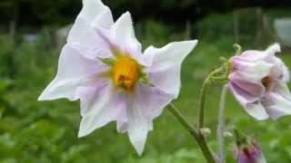 Solanum tuberosum - Potato flowers - Kartöflublóm - Jarðepli - Náttskuggaætt