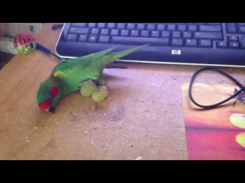"""""""Birdy"""" the Australian Musk Lorikeet, attempting to use a pair of grapes as rollerskates"""