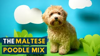Maltese Poodle Mix: Is the Bright and Playful Maltipoo A Perfect Family Dog?