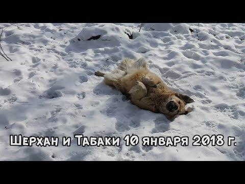 ТИГР И СОБАКА - ЛУЧШИЕ ДРУЗЬЯ. 10 ЯНВАРЯ 2018 Г.
