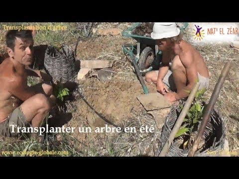 Transplanter un arbre en été