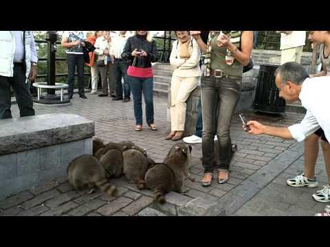 Les Ratons du mont-royal