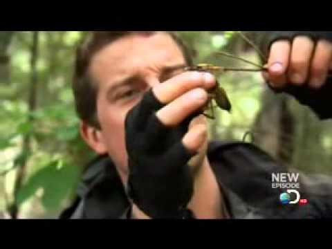 Bear Grylls ow-ow-ow-ow, Weta bit my Finger