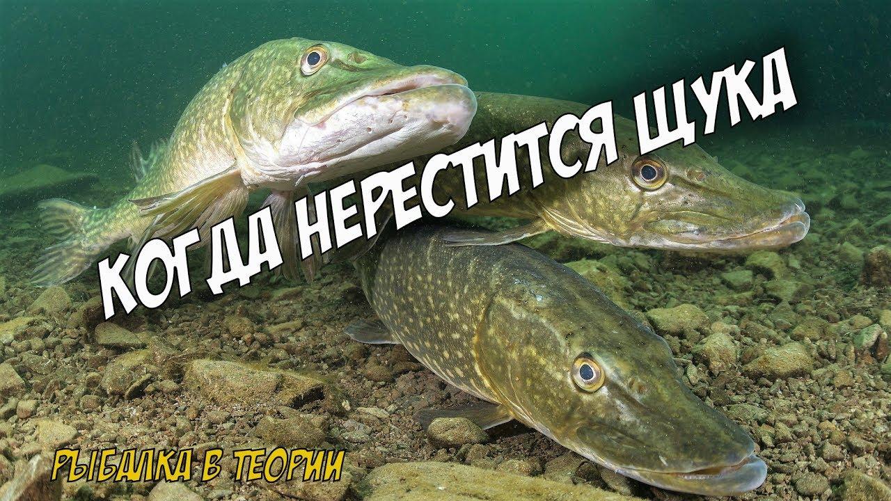 Рыбалка в теории. Когда нерестится щука и сколько раз ...