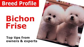 Bichon Frise Dog Breed Guide