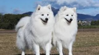 TOP FUNNY JAPANESE SPITZ VIDEOS