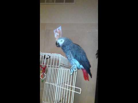 Mo the Parrot singing Spongebob