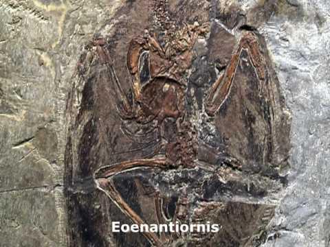 the Feathered Dinosaurs Fossil 长羽毛的恐龙
