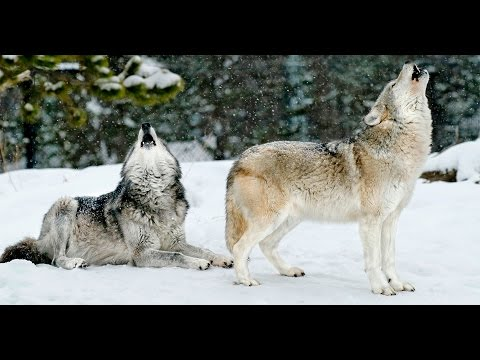 Yellowstone's Winter Wildlife: Wolves & More | Travel Webinar