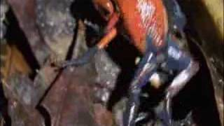 Poison Arrow Frogs Wrestling from  Life in Cold Blood
