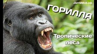 Горилла. Энциклопедия для детей про животных. Тропики