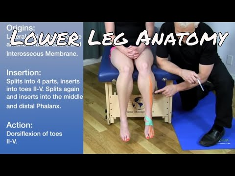 Anatomy  of the Anterior & Lateral Leg Below the Knee