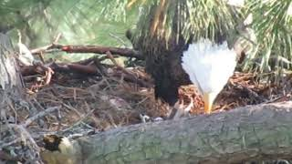 The Woodlands TX Bald Eagles - George and his 2 eaglets - 12.27.2018