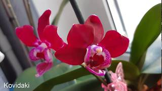 Процес роста и цветения орхидеи фаленопсис