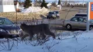 Vaşak'ı kedi diye kovalayan kız