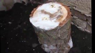 Выращивание вешенки на пеньках(В этом видео вы увидите, как вырыщивать вешеку на пнях в домашних условиях. Как правильно посадить пенек..., 2016-04-16T06:39:27.000Z)