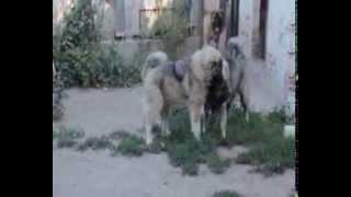 Питомник кавказских овчарок Из  Столицы Украины Собаки играют!