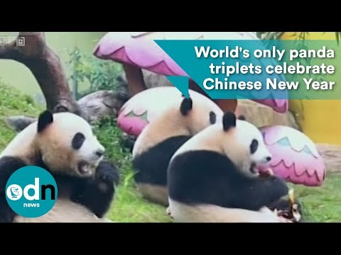World's only panda triplets celebrate Chinese New Year