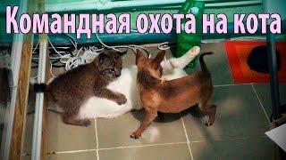 Собака и рысь замучили кота