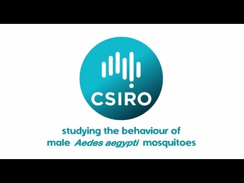 Studying the behaviour of male Aedes aegypti mosquitoes