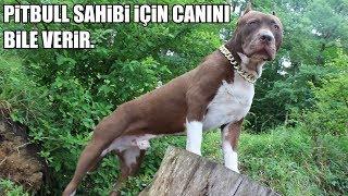 PİTBULL SAHİBİ İÇİN CANINI BİLE VERİR !! ( Pitbull Yakın Koruma eğitimi ) Pitbull Training