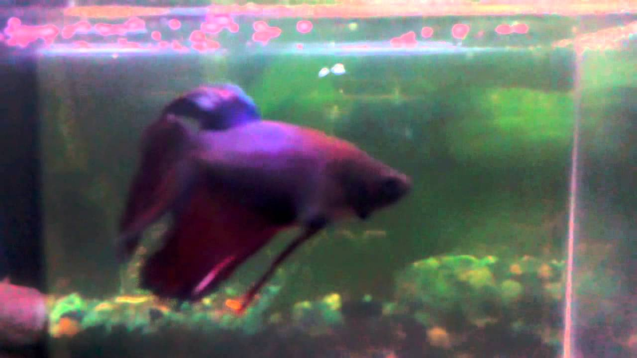 Opal white with red and blue betta fish neighbors - YouTube
