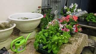 Что необходимо добавить в кашпо для пышного цветения однолетнтков .Высадка  цветов в кашпо май 2018