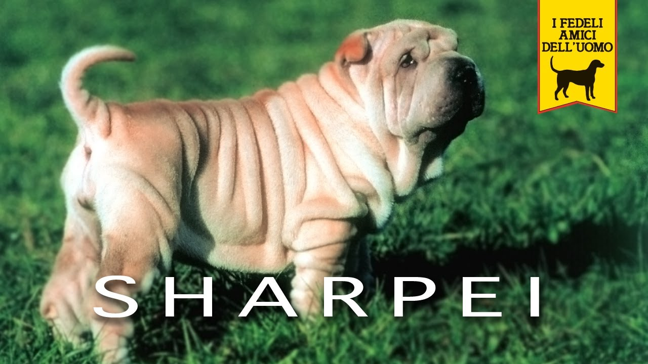 SHAR PEI trailer documentario - YouTube