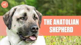 Anatolian Shepherd   Dogs 101  Everything You Need To Know About One Of The Rarest Dog Breeds