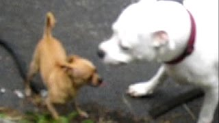 Pit bulls first contact with Chihuahuas