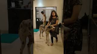 Mix breed of great Dane and DDR Shephard in Mumbai, India