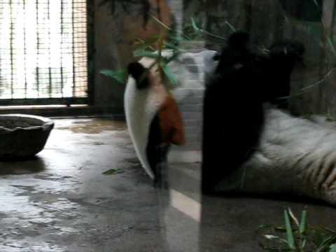 Panda at Hangzhou Zoo.