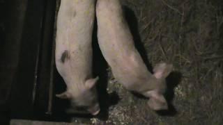 Поросята большой белой породы свиней / Piglets large white