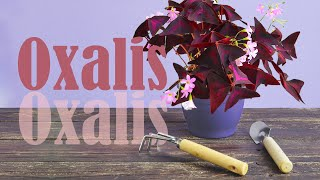 How to propagate Oxalis Triangularis (Love Plant) by dividing? | Watering tips