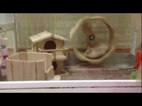 Chuột Hamster tinh nghịch cùng đồ chơi