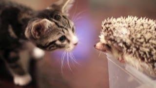 Смешное видео про кошек 14, подборка 2013-2014 (кот и ёж)