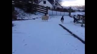 Когда овечка считает что она собака