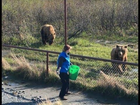 Alaska Active Tours LLC -  Wildlife Conservation Center Bear Feeding Time!