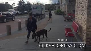 "10 m/o Pit Bull Mix ""Jake"" | Central Florida Dog Trainers | Daytona Beach Dog Trainers"