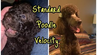 Standard Poodle Birth to 8 Months Velocity Standard