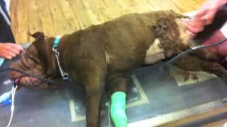 Monet - One Dogs Journey Through Shar Pei Rescue Inc, Australia - Medium 1.m4v