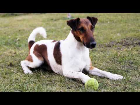 Cute And Lovely Video Of Dog Terrier Fox