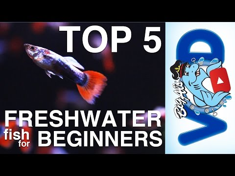 Top 5 Freshwater Fish For Beginners | BigAlsPets.com