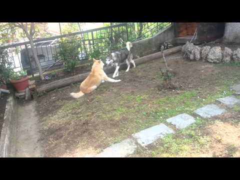 Siberian Husky vs Akita Inu (Wolf vs Akai) watch HD